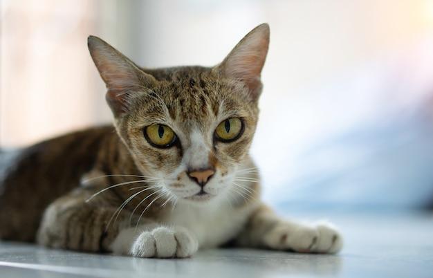 Oude katten, echte thaise rassen, zitten in huis.