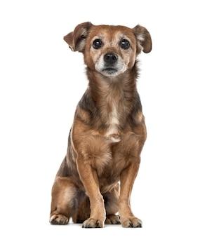 Oude kruising hondenzitting geïsoleerd op wit