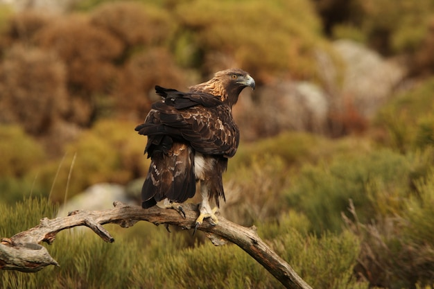 Oude man van golden eagle