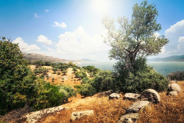 Oude olijfboom en oude ruïnes op bafa-meer, nationaal park in turkije. landelijk lentelandschap en reisbestemming