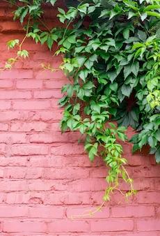 Oude oranje muur met kruipende klimop