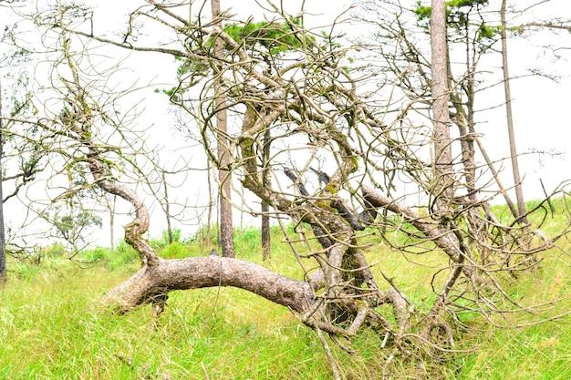 Oude pijnboomboom gebroken liggend in het bos en de witte lucht