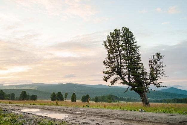 Oude reuzeceder op heuvel dichtbij modderige landweg