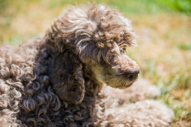 Oude rode poedel hond portret close-up op zomer aard.