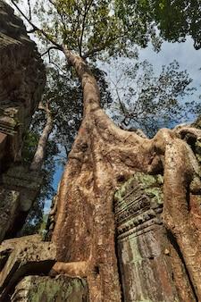 Oude ruïnes en boomwortels, ta prohm-tempel, angkor, kambodja