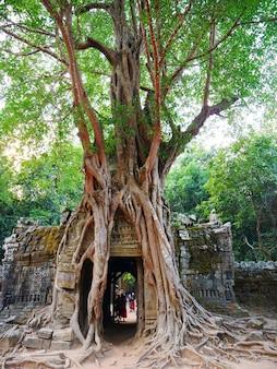 Oude ruïnes van de som-tempel van ta in het complexe angkor wat, siem oogst kambodja. stenen tempel deur poort ruïne met jungle boom luchtwortels.