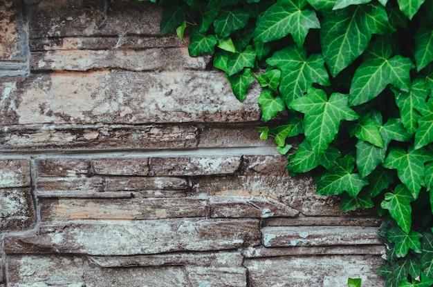 Oude stenen muur en groene klimop bladeren.