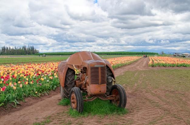 Oude tractor in een tulpenveld