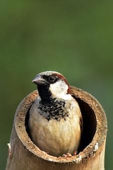 Oude wereldmusvogel bij nest