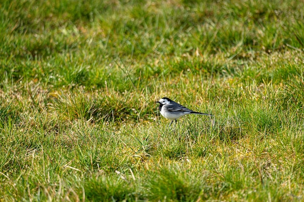 Oude wereldvliegenvanger op het gras