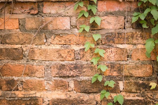 Oude wijnstokken op oude bakstenen muur. oude bakstenen muur met groene klimopklimplantinstallatie.