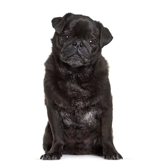 Oude zwarte pug zitten