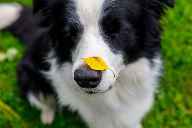 Outdoor portret van schattige grappige puppy hondje border collie met geel herfstblad op neus zittend in herfst park. hond snuift herfstbladeren op wandeling. close-up, selectieve aandacht. grappig huisdierenconcept