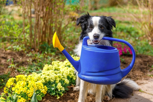 Outdoor portret van schattige hond border collie gieter in mond houden op tuin achtergrond. grappige puppyhond als tuinman die gieter voor irrigatie haalt. tuinieren en landbouw concept.