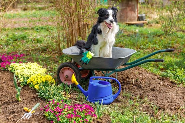 Outdoor portret van schattige hond border collie zitten in kruiwagen tuin kar op tuin achtergrond. grappige puppyhond als tuinman klaar om zaailingen te planten. tuinieren en landbouw concept.