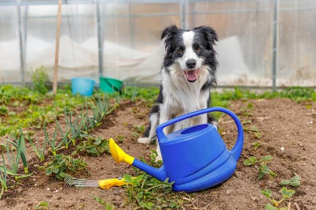 Outdoor portret van schattige lachende hond border collie met gieter op tuin achtergrond grappige pup...