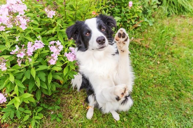 Outdoor portret van schattige lachende puppy border collie zittend op gras