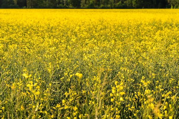 Overdag groeien er gele bloemen op het grote veld