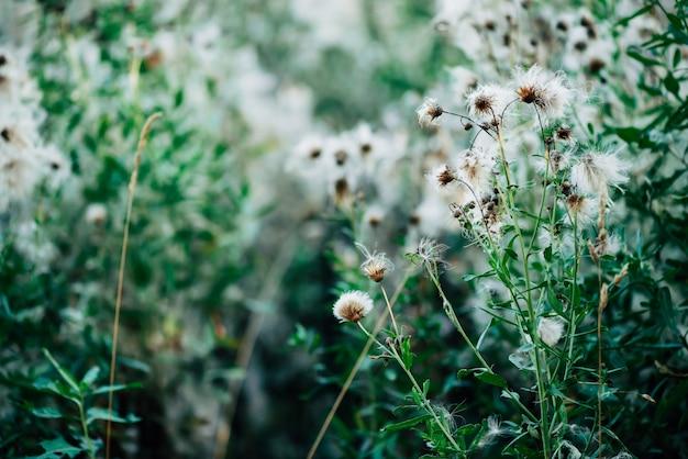 Overgeblazen knoppen van cirsium heterophyllum. bloeiende distel op groene bokehaard. schilderachtig met wietgroen. witte pluizige zaden van zeugdistel in macro. sonchus oleraceus close-up.