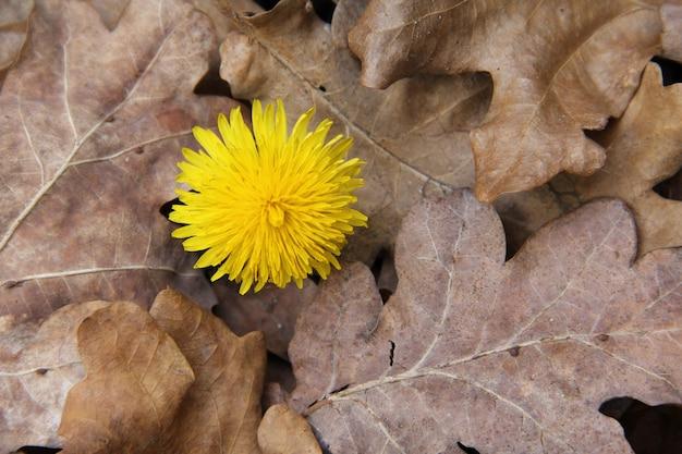 Overhead schot van een gele bloem omgeven door droge bladeren