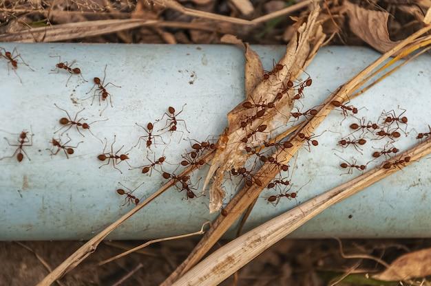 Overhead schot van rode mieren op de stalen blauwe buis genomen naast doi tao lake, thailand, azië