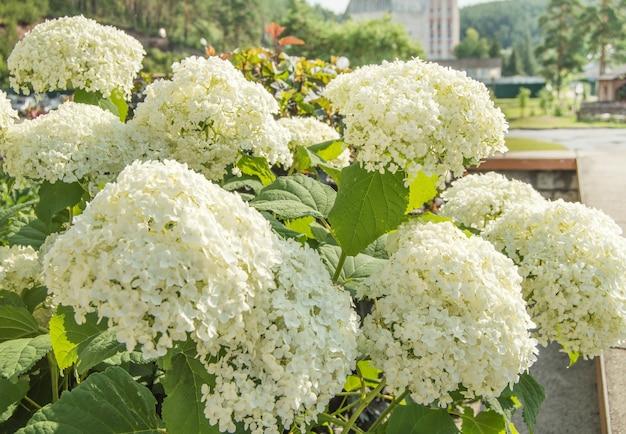 Overvloedige bloemen van de prachtige witte paniculaire hortensia, een weelderige struik in de tuin op een zonnige zomerdag