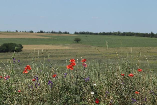 Overwoekerd goed verzorgd lavendelveld op een zonnige dag en wat rode klaprozen