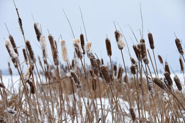 Overwoekerd riet in de winter op het meer