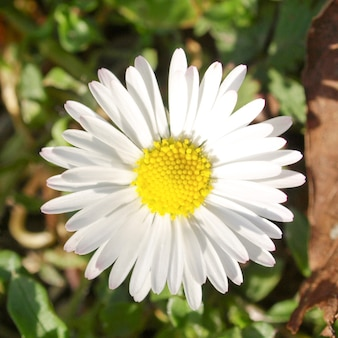 Oxeye madeliefje plant