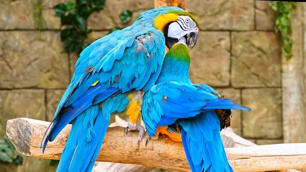 Paar blauwe en gele papegaaien