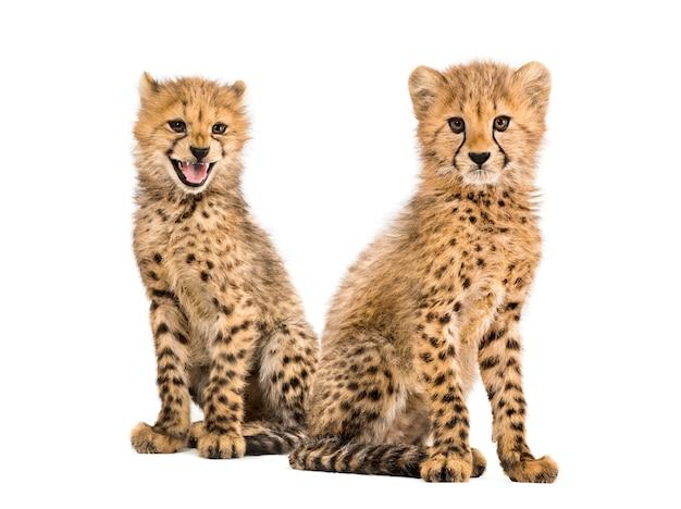 Paar drie maanden oude cheetah welpen, geïsoleerd op wit