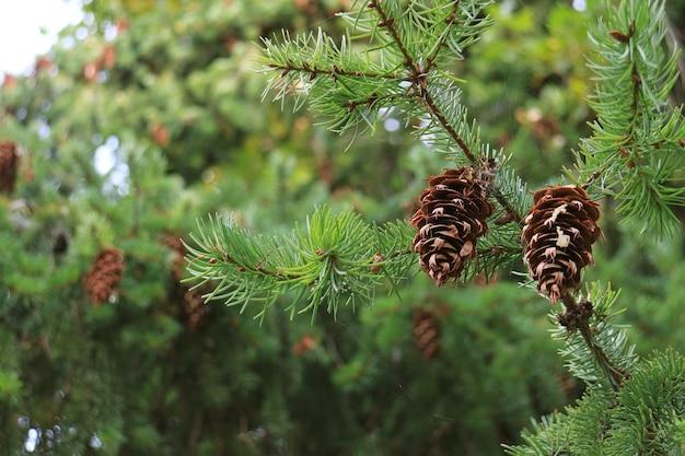 Paar droge dennenappels die in de herfst van patagonië aan de boom hangen