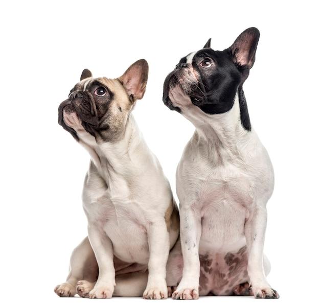 Paar franse bulldogs zitten en kijken geïsoleerd op wit