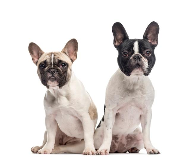 Paar franse bulldogs zitten en kijken naar de camera geïsoleerd op wit