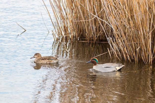 Paar gewone wintertaling (anas crecca) in het natuurpark van de moerassen van ampurdãƒâ¡n, girona, catalonië, spanje