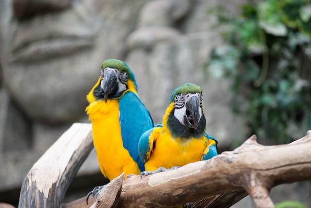 Paar grote papegaai ara zittend op de tak.