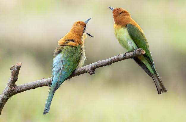 Paar kastanjekopbijeneters of merops leschenaulti die op een boomtak zitten
