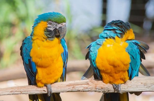 Paar kleurrijke ara's die op een houten stok zijn geland