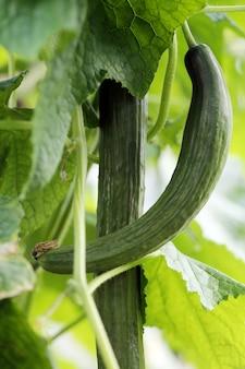Paar komkommers