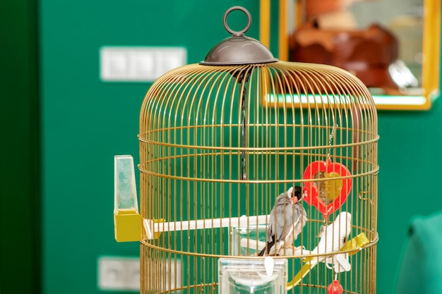 Paar mooie papegaaien thuis kooi. blijf thuis en quarantaine concept.