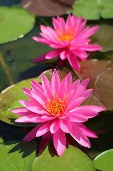 Paar prachtige roze nymphaea miss siam hardy waterlelies op de groene pads