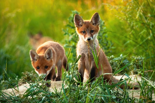 Paar schattige welpen van rode vos in het midden van het veld Premium Foto
