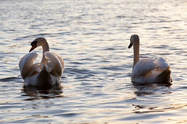 Paar swan in het voorjaar aan het meer