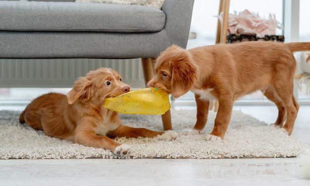 Paar toller puppy's bijten makelaar bal op tapijt thuis