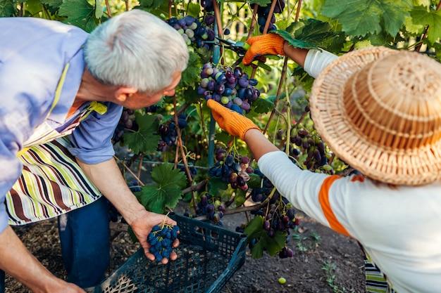 Paar van boeren plukken oogst van druiven op ecologische boerderij. gelukkige hogere man en vrouw die druiven in doos zetten