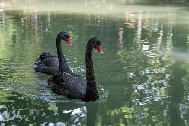 Paar zwarte zwanen die op een meer in een park zwemmen