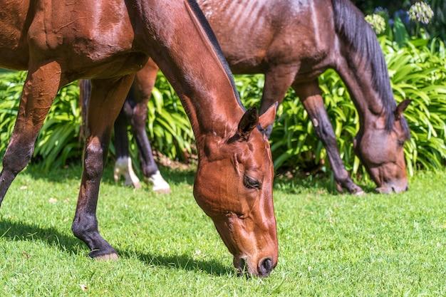 Paard dat op groen gras in de tropische tuin weidt. tanzania, afrika