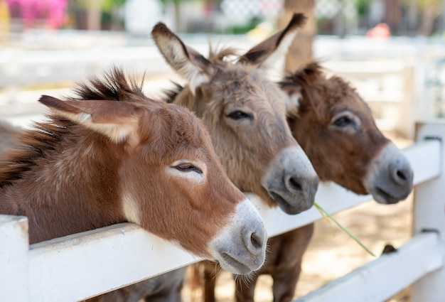 Paard of ezel drie in de boerderij. hoofd van paar bruin paard of ezel in de stal. paarden- of ezelliefhebber en derde partij.