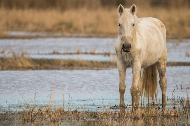 Paard van de camargue in het natuurpark van de moerassen, girona, catalonië, spanje