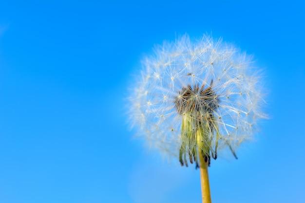 Paardebloem bolvormig hoofd van zaden op de blauwe hemelachtergrond